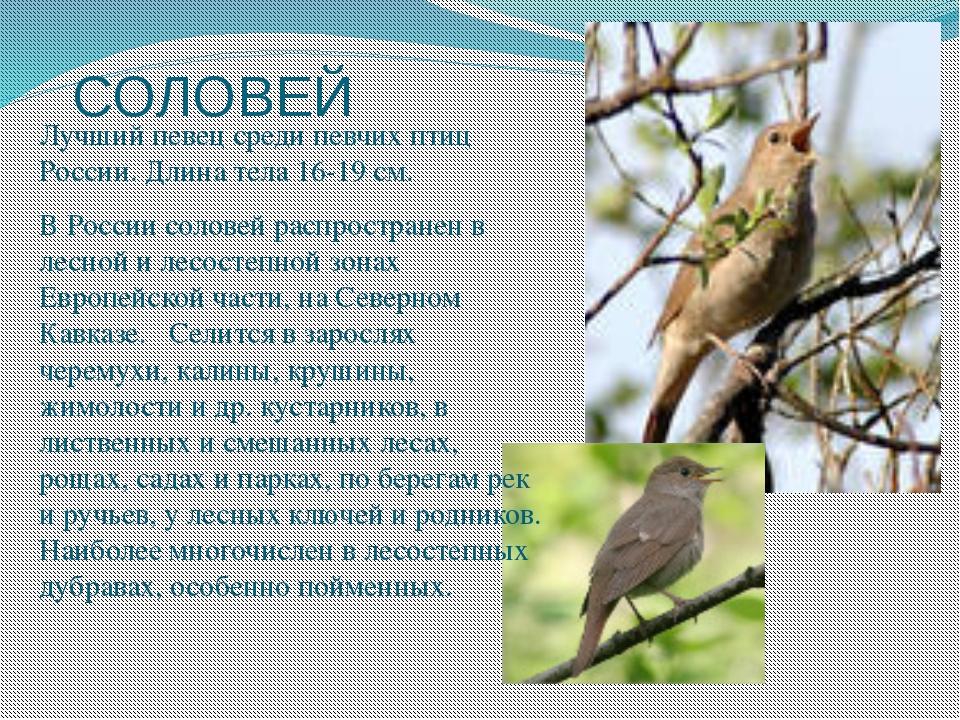 СОЛОВЕЙ Лучший певец среди певчих птиц России. Длина тела 16-19 см. В России...