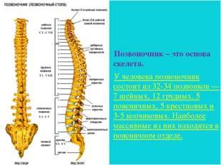 Позвоночник – это основа скелета. У человека позвоночник состоит из 32-34 поз