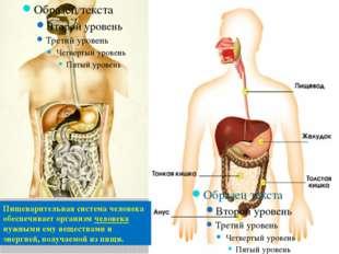 Пищеварительная система человека обеспечивает организм человека нужными ему в