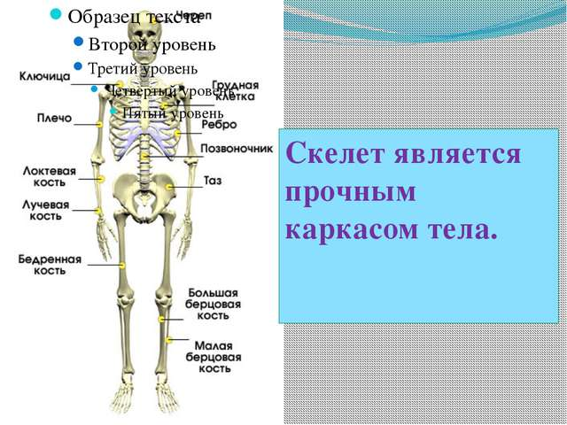 Скелет является прочным каркасом тела.