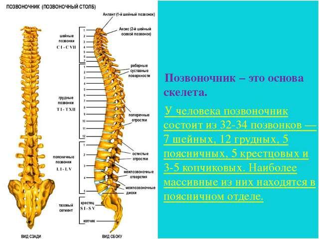 Позвоночник – это основа скелета. У человека позвоночник состоит из 32-34 поз...