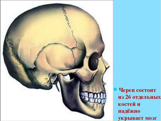 Череп состоит из 26 отдельных костей и надёжно укрывает мозг
