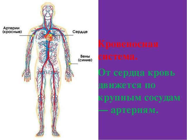 Кровеносная система. От сердца кровь движется по крупным сосудам — артериям.