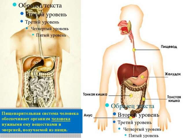 Пищеварительная система человека обеспечивает организм человека нужными ему в...
