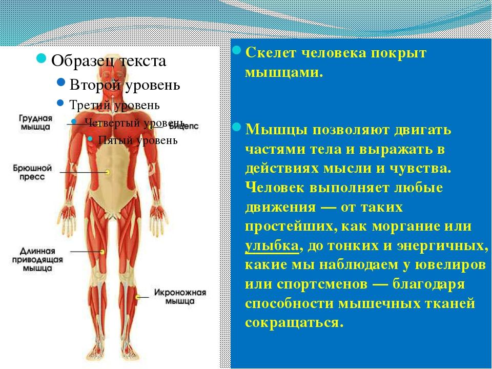 Скелет человека покрыт мышцами. Мышцы позволяют двигать частями тела и выража...
