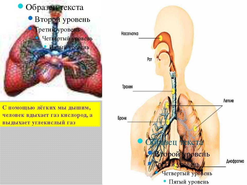С помощью лёгких мы дышим, человек вдыхает газ кислород, а выдыхает углекисл...