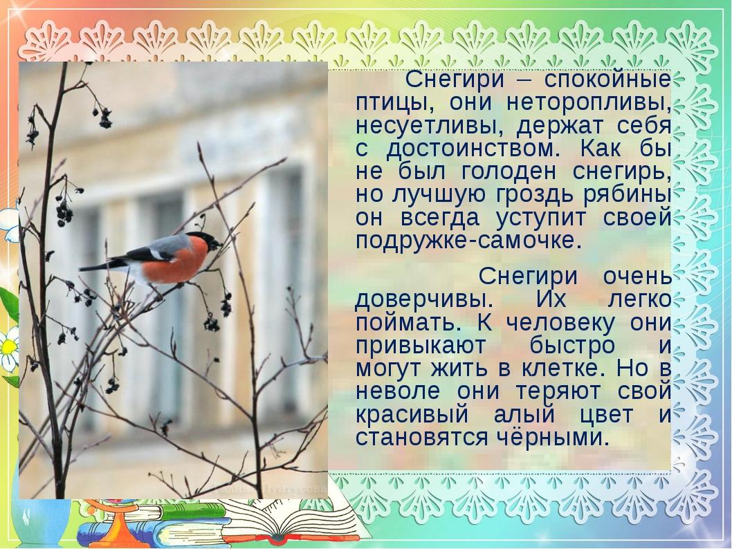 Снегири – спокойные птицы, они неторопливы, несуетливы, держат себя с достои...