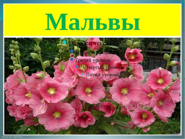 Мальвы FokinaLida.75@mail.ru