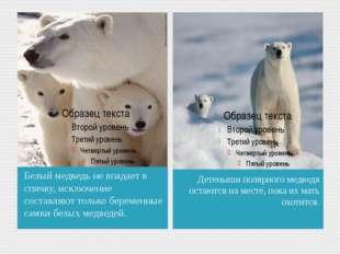 Белый медведь не впадает в спячку, исключение составляют только беременные са