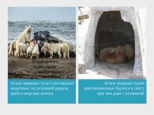 Белые медведи строго плотоядные животные, их основной рацион рыба и морские к