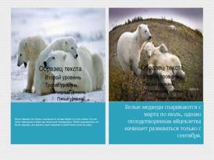 Белые медведи так хорошо защищены от холода жиром и густым мехом, что они мог