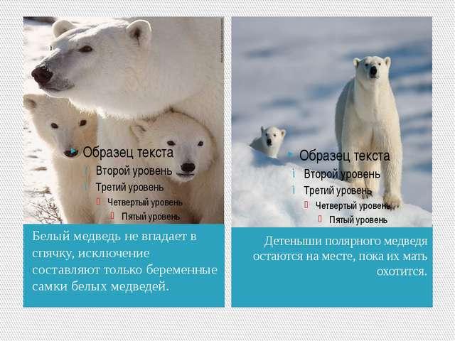 Белый медведь не впадает в спячку, исключение составляют только беременные са...
