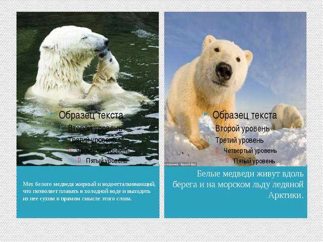 Мех белого медведя жирный и водоотталкивающий, что позволяет плавать в холод...