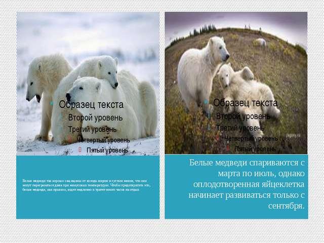 Белые медведи так хорошо защищены от холода жиром и густым мехом, что они мог...