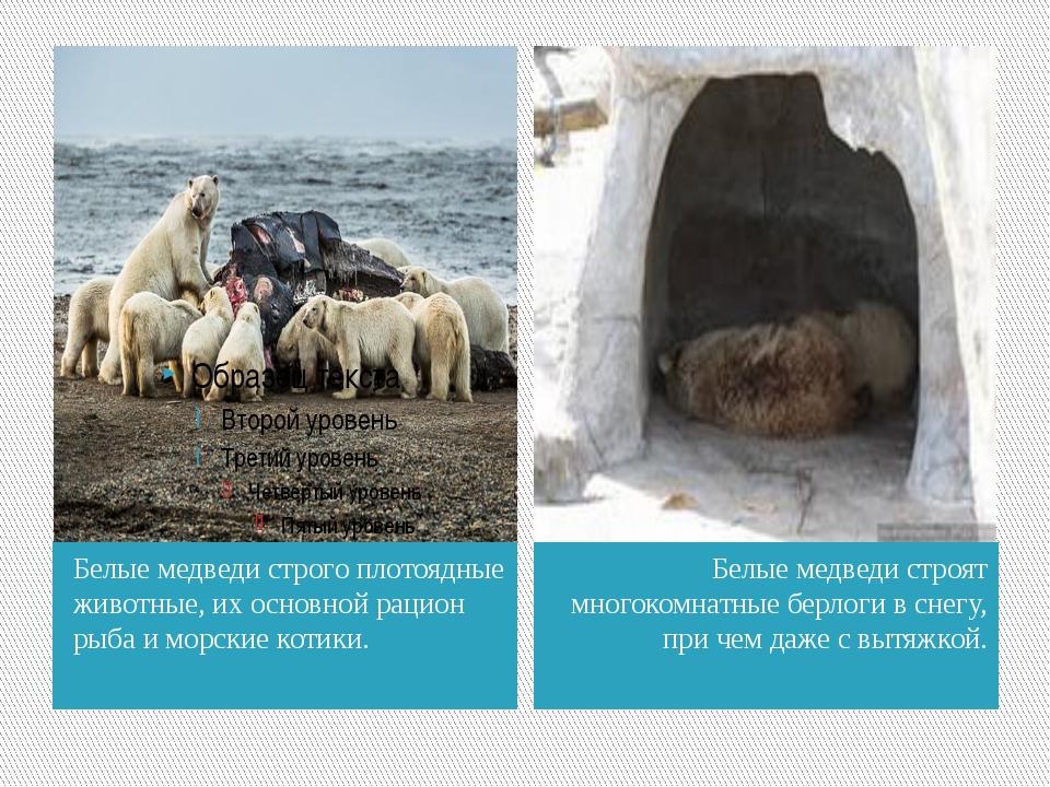 Белые медведи строго плотоядные животные, их основной рацион рыба и морские к...