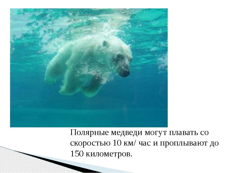 Полярные медведи могут плавать со скоростью 10 км/ час и проплывают до 150 ки...