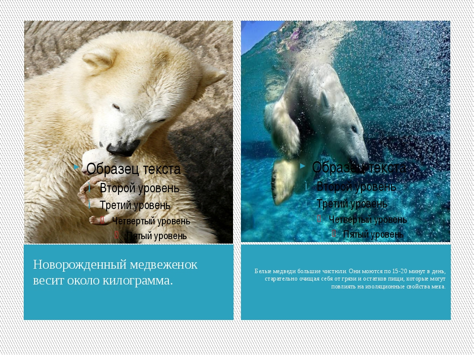 Новорожденный медвеженок весит около килограмма. Белые медведи большие чистюл...