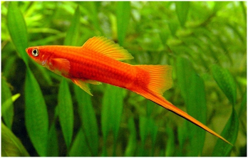 Меченосцы - аквариумные рыбки