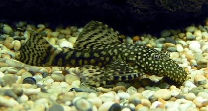 http://dic.academic.ru/pictures/wiki/files/66/Bristlenose_Catfish_700.jpg