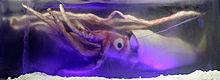 http://upload.wikimedia.org/wikipedia/commons/thumb/f/f2/Giant_squid_melb_aquarium03.jpg/220px-Giant_squid_melb_aquarium03.jpg