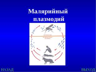 Малярийный плазмодий НАЗАД ВЫХОД