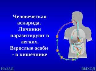 НАЗАД ВЫХОД Человеческая аскарида. Личинки паразитируют в легких. Взрослые ос