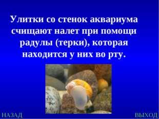 НАЗАД ВЫХОД Улитки со стенок аквариума счищают налет при помощи радулы (терки