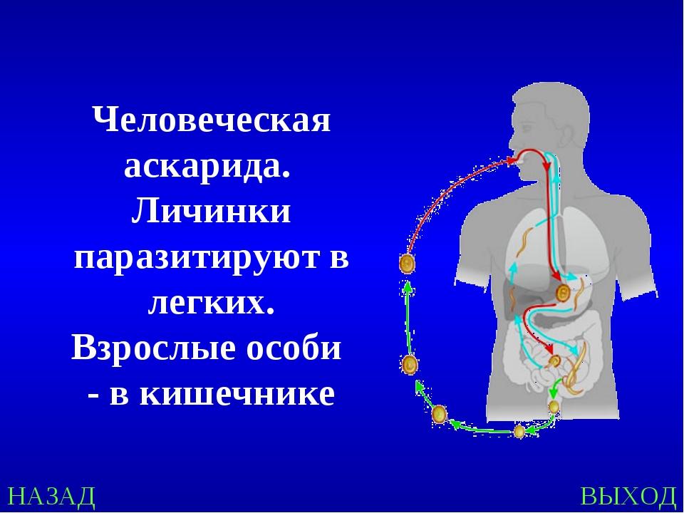 НАЗАД ВЫХОД Человеческая аскарида. Личинки паразитируют в легких. Взрослые ос...