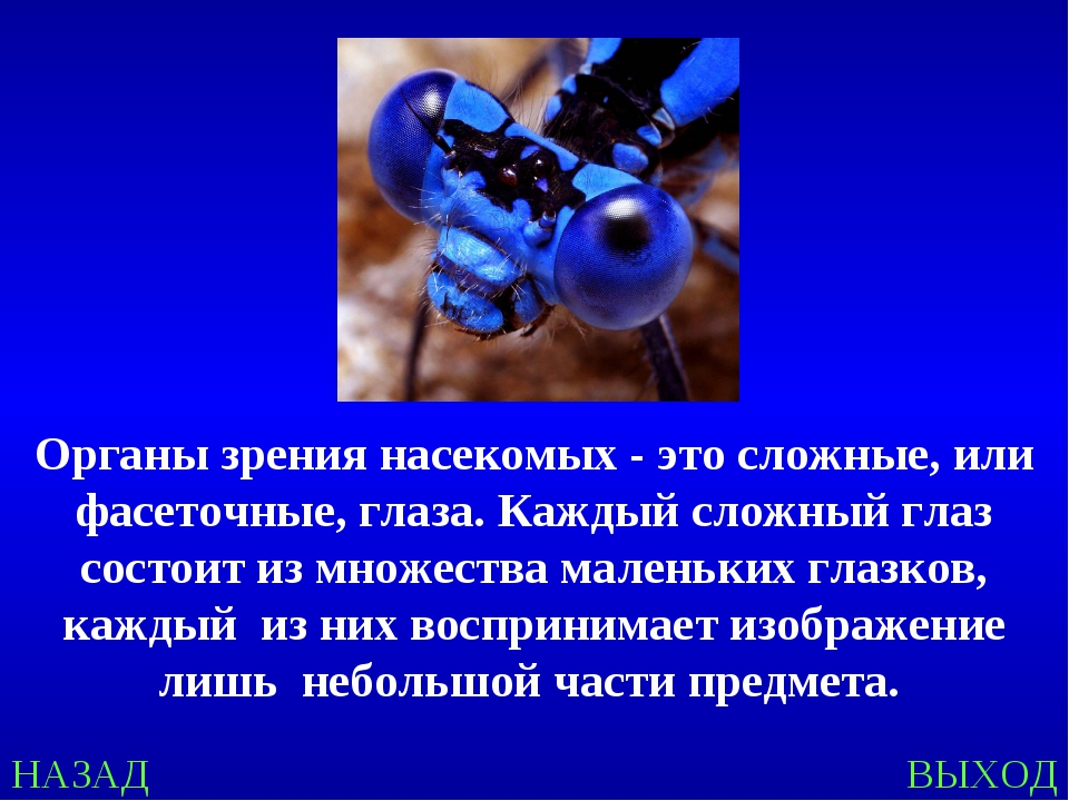 НАЗАД ВЫХОД Органы зрения насекомых - это сложные, или фасеточные, глаза. Каж...