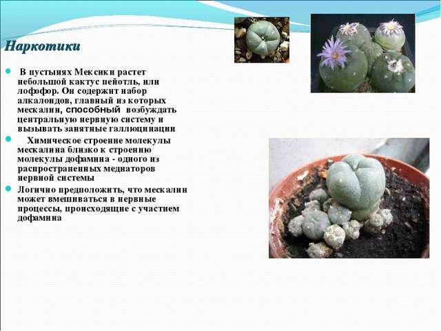 Наркотики В пустынях Мексики растет небольшой кактус пейотль, или лофофор. Он...