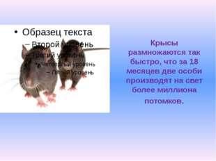 Крысы размножаются так быстро, что за 18 месяцев две особи производят на свет