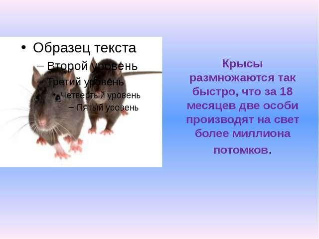 Крысы размножаются так быстро, что за 18 месяцев две особи производят на свет...