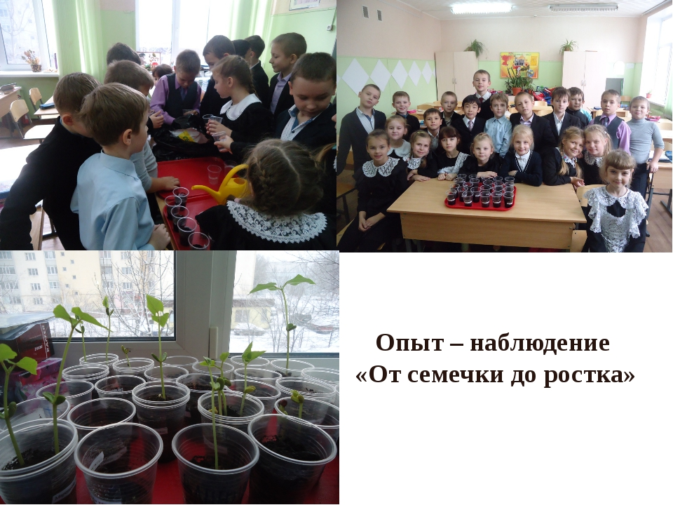 Опыт – наблюдение «От семечки до ростка»