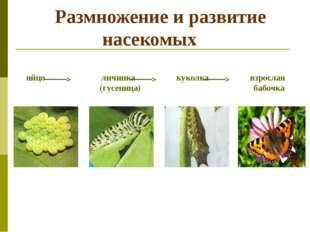 Размножение и развитие насекомых яйцо личинка куколка взрослая (гусеница) ба