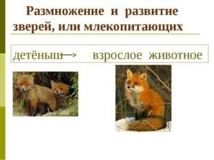 Размножение и развитие зверей, или млекопитающих детёныш взрослое животное