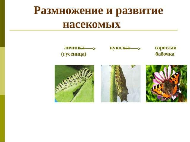 Размножение и развитие насекомых личинка куколка взрослая (гусеница) бабочка