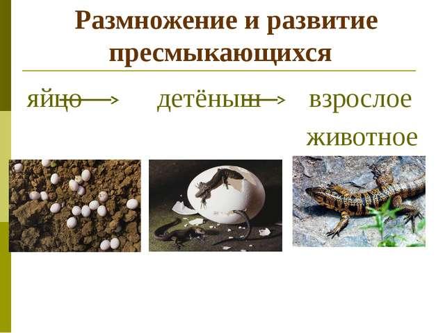 Размножение и развитие пресмыкающихся яйцо детёныш взрослое животное