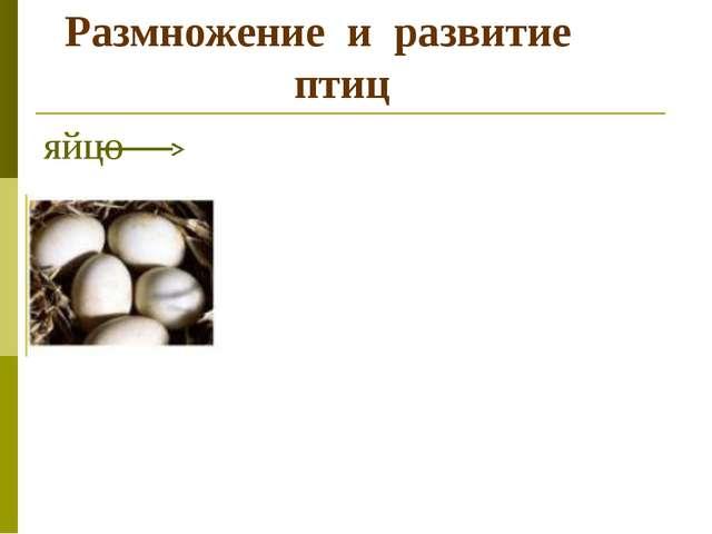 Размножение и развитие птиц яйцо