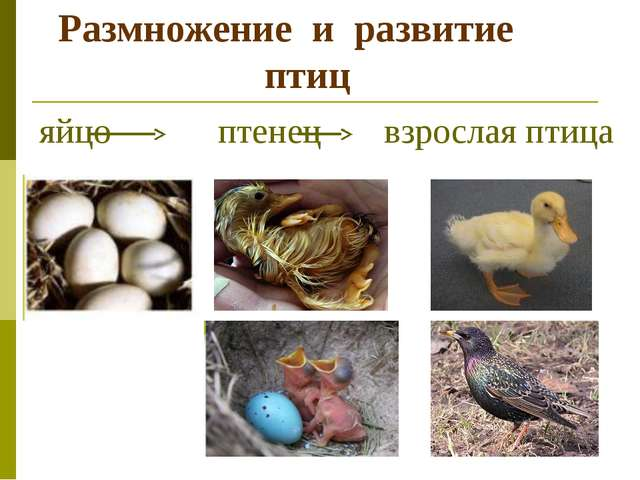 Размножение и развитие птиц яйцо птенец взрослая птица