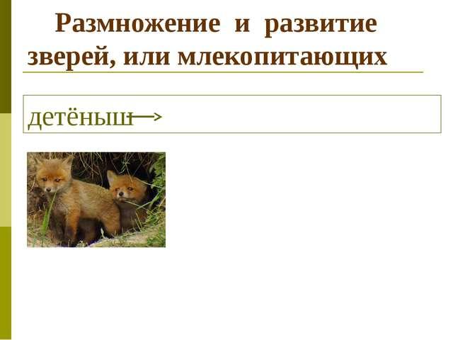 Размножение и развитие зверей, или млекопитающих детёныш