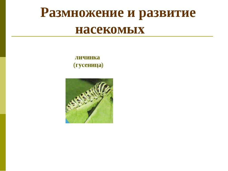 Размножение и развитие насекомых личинка (гусеница)