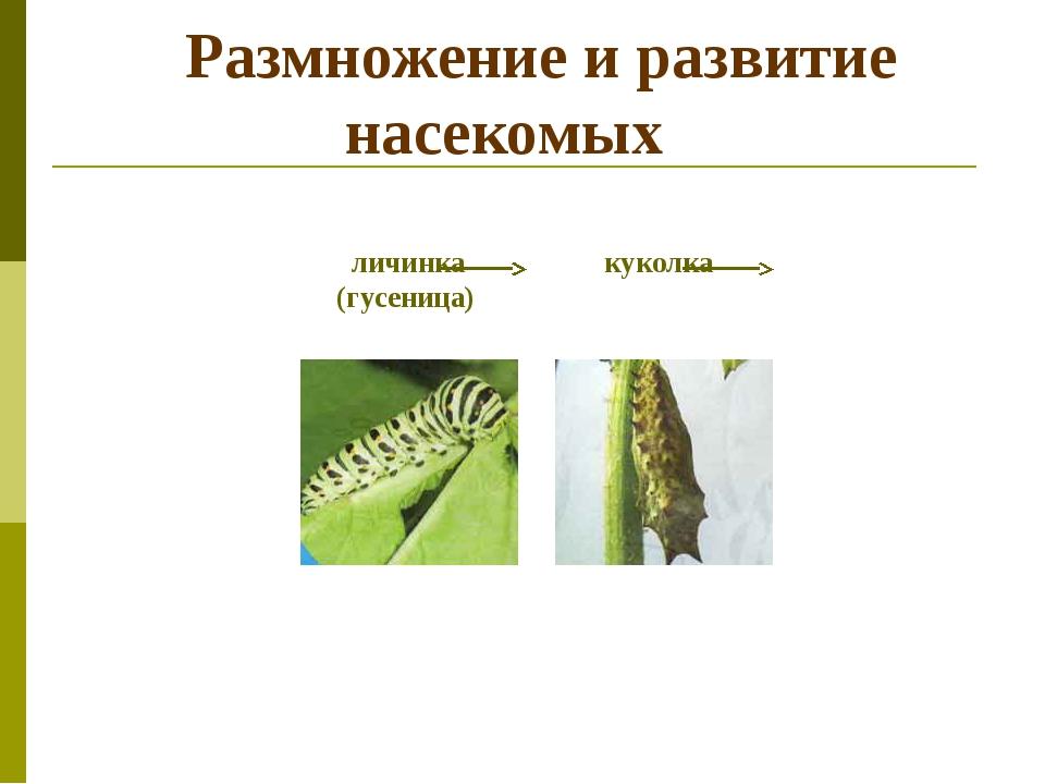 Размножение и развитие насекомых личинка куколка (гусеница)