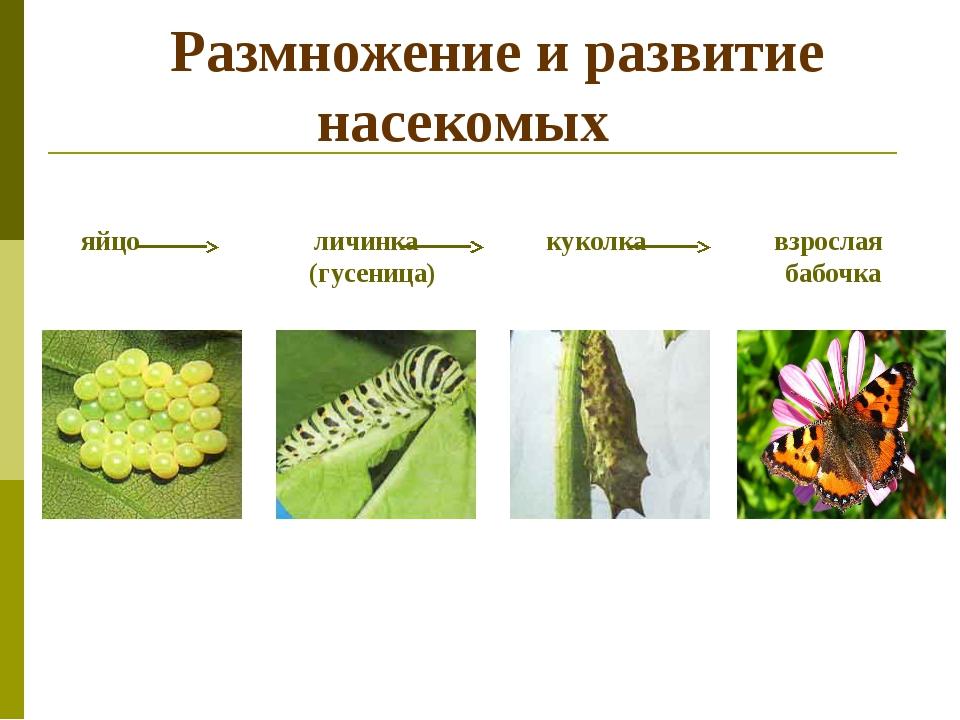 Размножение и развитие насекомых яйцо личинка куколка взрослая (гусеница) ба...