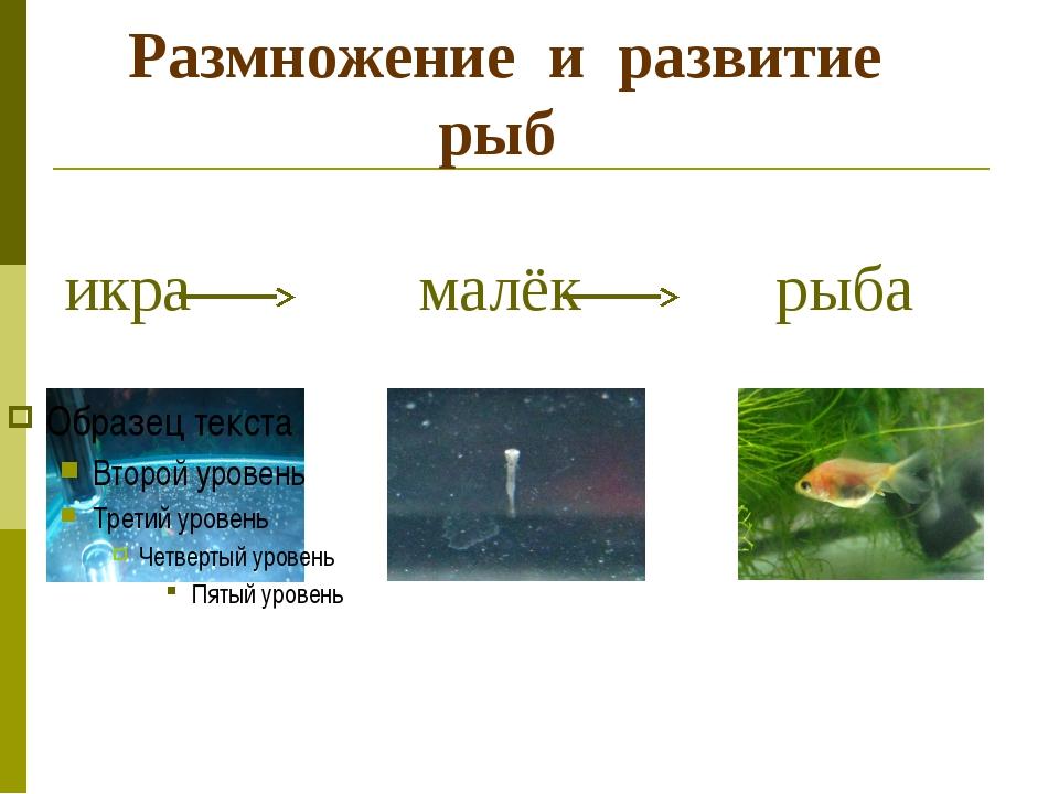 Размножение и развитие рыб икра малёк рыба