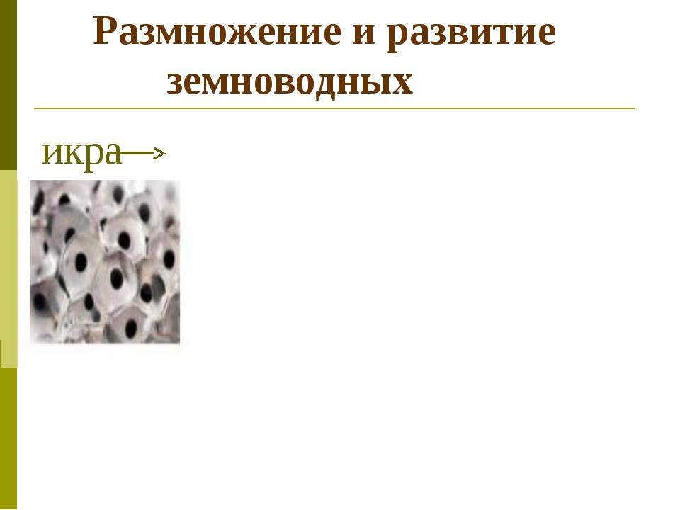 Размножение и развитие земноводных икра