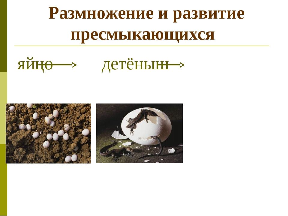 Размножение и развитие пресмыкающихся яйцо детёныш