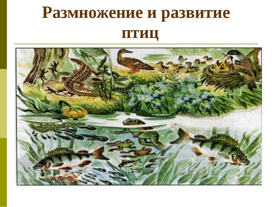 Размножение и развитие птиц