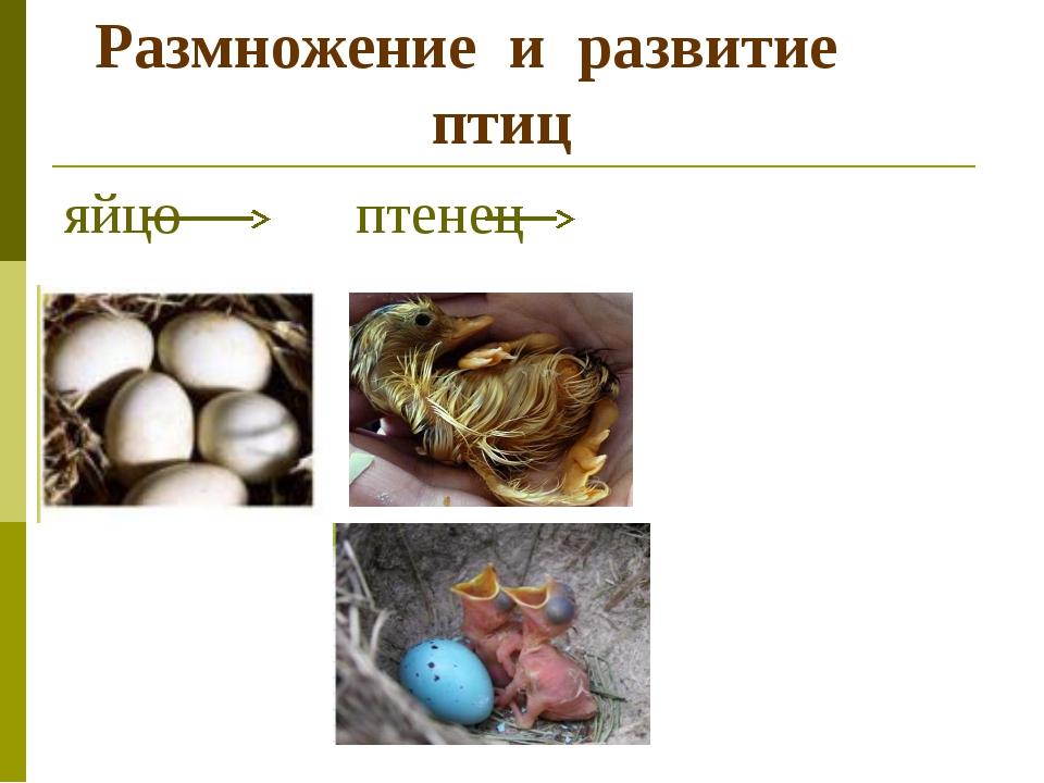 Размножение и развитие птиц яйцо птенец