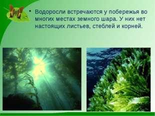 Водоросли встречаются у побережья во многих местах земного шара. У них нет н