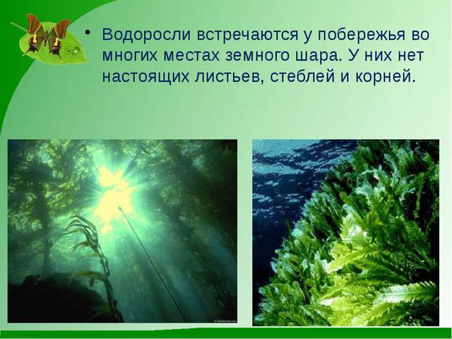 Водоросли встречаются у побережья во многих местах земного шара. У них нет н...